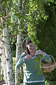 Frau schneidet frische Triebe von Betula (Birke), um die Blätter für Tee