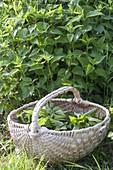 Brennessel - Ernte für Tee und Smoothies