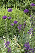 Allium aflatunense 'Purple Sensation' (Purpur-Kugellauch) und Verbascum