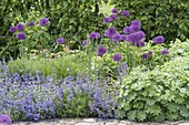 Allium aflatunense 'Purple Sensation' (Purpur-Kugellauch), mit Nepeta