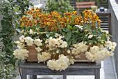 Leuchtende Farben für den Halbschatten : Calceolaria (Pantoffelblume)