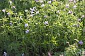 Geranium endressii (Pyrenäen-Storchschnabel)