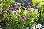 Geranium psilostemon - Armenischer Storchschnabel