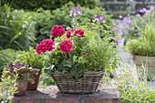 Korb auf Gartenmauer : Pelargonium Caliente 'Rose' (Stehende Geranie)