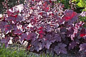 Heuchera 'Heureka Purple Majesty' (Purpurglöckchen)