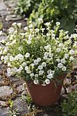 Silene uniflora 'Weißkehlchen' - Weißes Leimkraut