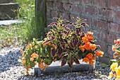 Begonia sutherlandii 'Papaya', B. tuberhybrida 'Nonstop Orange' (Begonien)