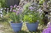 Blühender Schnittlauch (Allium schoenoprasum) mit Petersilie (Petroselinum)