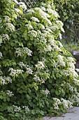 Hydrangea petiolaris (Kletterhortensie) in voller Blüte