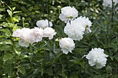 Paeonia lactiflora 'Duchesse de Nemours' - Edel-Pfingstrose