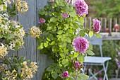 Rosa 'Hunyard' (Castle - Rose), oefterbluehend , gesund, wenig oder kein Duft