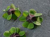 Glücksklee-Blätter (Oxalis deppei Iron Cross)
