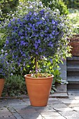 Blühender Enzianbaum auf der Terrasse