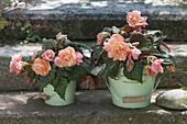 Begonia tuberhybrida 'Just Peachy' (Duftbegonie) mit frischem Zitrusduft