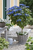 Hydrangea 'Blaumeise' (