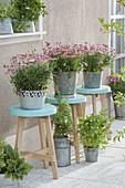 Argyranthemum frutescens 'Molimba Pink' (Margeriten) auf türkisen Hockern