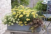 Grauer Holz-Kasten mit Argyranthemum frutescens Courtyard 'Citronelle'