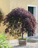 Acer palmatum 'Dissectum Garnet' (Duneklroter Schlitzahorn)
