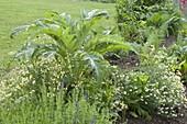 Cardy (Cynara cardunculus) mit Kamille (Matricaria chamomilla)