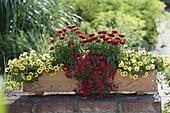 Selbstgebauter Holz-Kasten rot-gelb bepflanzt : Bracteantha Dazette 'Flirt'