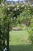 Rosenbogen mit Rosa 'Kirschrose' (Ramblerrose), oefterbluehend