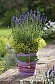 Lavendel (Lavandula) in Topf mit Filz-Verkleidung , Blüten von Alchemilla