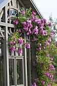 Rose Taunusbluemchen am Teehaus