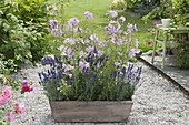 Sidalcea malviflora 'Elsie Heugh' (Praeriemalve) mit Lavendel