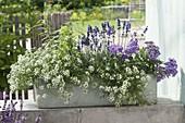 Duftkasten weiss und blau-lila bepflanzt : Lobularia 'Snow Princess'