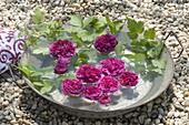 Blüten von Rosa 'Charles de Mills' (Gallica-Rose), historisch