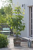 Acer rufinerve - Rotnerviger Schlangenhaut-Ahorn
