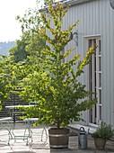 Cercidiphyllum (Kuchenbaum, Judasblattbaum) in Holz-Kübel