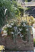 Pelargonium peltatum 'Snow Cascade' (Hängende Geranien)