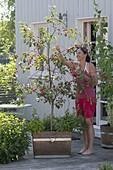 Sauerkirsche 'Saphir' (Prunus cerasus) unterpflanzt mit Basilikum (Ocimum)