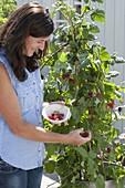 Frau pflückt Himbeeren (Rubus)