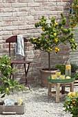 Mediterrane Kiesterrasse mit Citrus myrtifolia 'Chinotto' (Bitterorange)