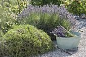 Rückschnitt und Ernte bei Lavendel (Lavandula angustifolia)