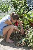 Frau erntet Zwiebeln (Allium cepa) im Gemüsebeet zwischen Mangold