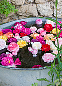 les JARDINS De Roquelin, Loire Valley, FRANCE: A Collection of ROSE HEADS From THE Garden FLOATING IN A Vintage Zinc Container