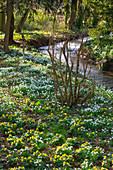 LITTLE Ponton HALL, Lincolnshire: THE STREAM with SNOWDROPS AND ACONITES On THE Banks
