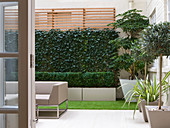 BASEMENT Garden Montague SQUARE, London, DESIGNED by AMIR SCHLEZINGER of MY LANDSCAPES: BASEMENT Garden with Trochodendron aralioides, Screen of HEDERA Woerner, OLEA LOLLIPOPS