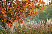 PETTIFERS Garden, OXFORDSHIRE, IN AUTUMN: SORBUS 'Joseph Rock' AND MISCANTHUS 'YAKUSHIMA DWARF'