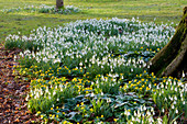 SNOWDROPS AND ACONITES at Colesbourne Park, Gloucestershire