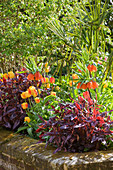 Arundel Castle GARDENS, West Sussex: THE Collector Earls Garden: RAISED BED with Tulipa 'Olympic FLAME' , Fritillaria IMPERIALIS AND POLYGONUM Microcephala 'Red DRAGON'