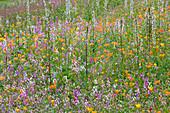 Marwood HILL, Devon: ANNUAL FLOWER MEADOW