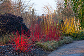 Sir Harold HILLIER GARDENS, Hampshire: THE Winter Garden - BED with CORNUS SIBIRICA