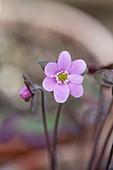 Ashwood NURSERIES: JOHN MASSEYS Collection of Hepaticas - hepatica AMERICANA (Pink)