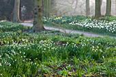 THE NATIONAL TRUST - Dunham MASSEY, CHESHIRE: LEUCOJUM IN THE WOODLAND Garden