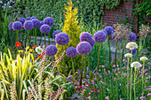 RHS Garden, WISLEY, Surrey: ALLIUM GLOBEMASTER GROWING IN GRAVEL with ICELAND POPPIES - Purple, ALLIUM, Bulb, ONION