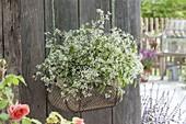 Draht-Korb mit Euphorbia hypericifolia 'Euphoric White' (Zauberschnee)